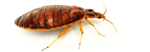 bedbugs pest control perth